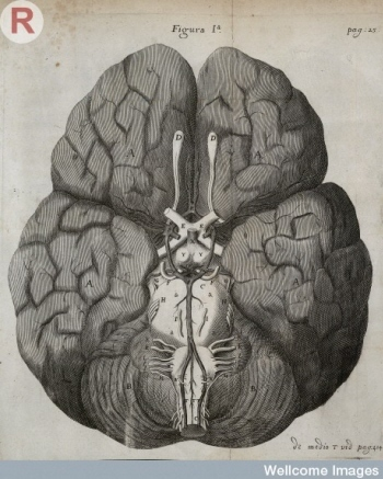 The brain, as drawn by Christopher Wren